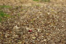 Find A Chicken In The Middle Of The Fall Foliage. Royalty Free Stock Images