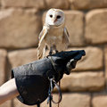 Free Barn Owl (Tyto Alba) Stock Photo - 20130060