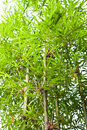 Free Bamboo Trees In The Garden Stock Photography - 20136582