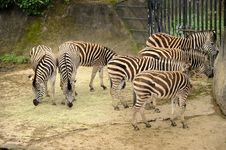 Free Beautiful Zebras Royalty Free Stock Photo - 20130025