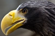 Steller S Sea Eagle Stock Photography