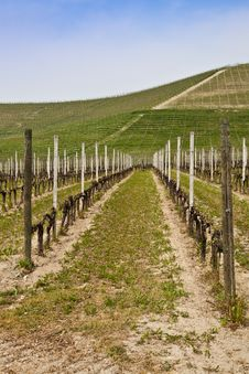 Free Barbera Vineyard - Italy Stock Photo - 20130120