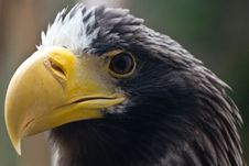 Free Steller S Sea Eagle Stock Photography - 20130132