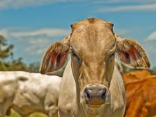 Free Australian Beef Cattle Charolais Bred For Meat Royalty Free Stock Images - 20130139