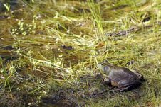 Free Bull Frog Royalty Free Stock Photo - 20130885
