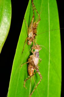 Free Cricket With Its Carcase Stock Photos - 20131393