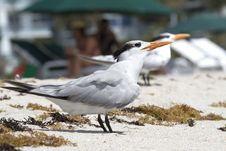 Free Sunbathe Terns Stock Photos - 20132463