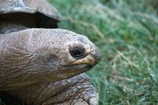 Free The Giant Turtle Royalty Free Stock Images - 20133859