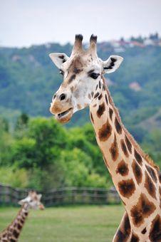 Free Giraffe Royalty Free Stock Images - 20134249