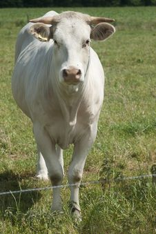 Free White Cow Looing To Camera Stock Photography - 20136062