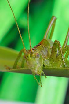 Free Grasshopper Stock Photography - 20136322