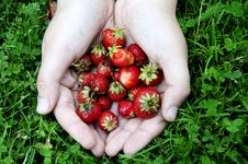 Free Girl S Cupped Hand Of Fresh Strawberries Stock Photos - 20136923