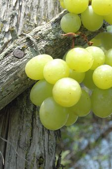 Green Grapes On Vine Royalty Free Stock Photo