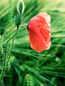 Free Red Poppy Stock Images - 20137094