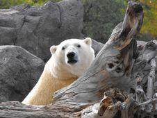 Free Polar Bear Stock Photo - 20137130