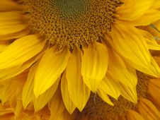 Free Sunflower Royalty Free Stock Images - 20137319