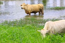 Free A Brown Cow In Swamp In Thailand Royalty Free Stock Images - 20137649