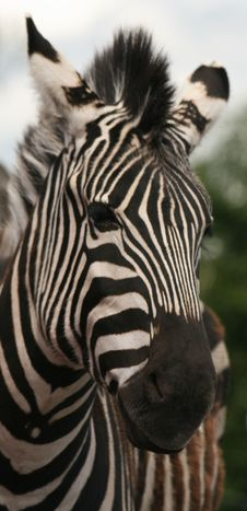 Free Zebras Stripes Royalty Free Stock Photography - 20138027