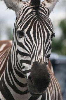 Free Zebras Stripes Stock Image - 20138031
