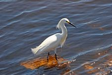 Free Snowy Egret Royalty Free Stock Image - 20138346