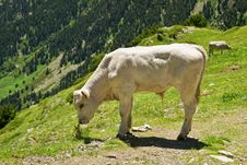 Free The Bull In Pyrenees Royalty Free Stock Photo - 20138935