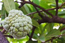Free Custard Apple Growing On Tree Royalty Free Stock Photography - 20139347