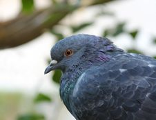 Free Wild Pigeon Stock Images - 20139654