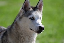 Free Husky Royalty Free Stock Image - 20139696