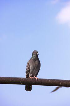 Free A Pigeon Stock Photos - 20139783