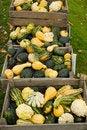 Free Mini Pumpkins Stock Images - 20142164