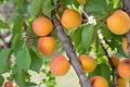 Free Ripe Apricots Stock Photos - 20142933