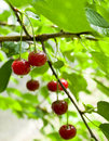 Free A Cherry Growing On A Tree Stock Images - 20142974
