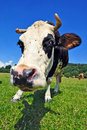Free Cow On A Summer Pasture Stock Photo - 20147640
