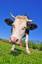 Free Cow On A Summer Pasture Stock Image - 20147771