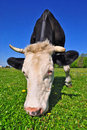 Free Cow On A Summer Pasture Royalty Free Stock Images - 20147779