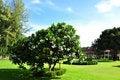 Free Plumeria Flower Tree Stock Photo - 20149430