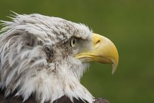 Free White Head Eagle Royalty Free Stock Images - 20140539