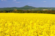 Free Oilseed Rapes Stock Photos - 20140613