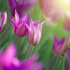 Free Photo Of Pink Tulips With Sun Beam Stock Images - 20140934