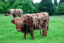 Free Scottish Highland Cow Stock Image - 20144051