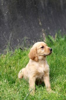 Free Golden Retriever Puppy Stock Photo - 20144440