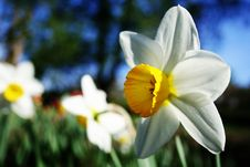Free Narcissus Stock Image - 20145241