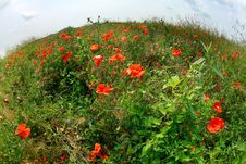 Free Red Poppy In Field Stock Images - 20145584