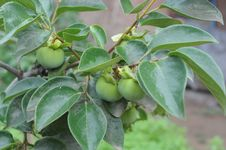 Free Young Persimmon Tree Stock Photo - 20146310