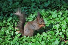 Squirrel Eats A Nut Royalty Free Stock Images