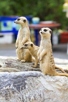 Free Meerkat Stock Image - 20146851