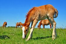 Free Foal With A Mare On A Summer Pasture. Royalty Free Stock Photo - 20147175
