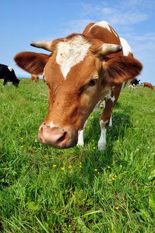 Free Cow On A Summer Pasture Royalty Free Stock Photography - 20147197