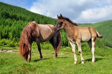 Free Foal With A Mare On A Summer Pasture. Royalty Free Stock Image - 20147276
