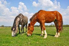 Free Horses On A Summer Pasture Stock Photos - 20147653